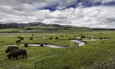 A picture of bison roaming on Yellowstone National Parks grounds